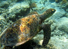 Tortuga de mar que nada bajo el agua Fotos de archivo libres de regalías