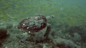 Tortuga de mar subacuática metrajes