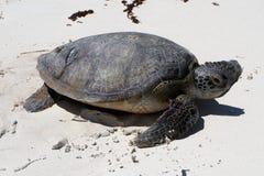 Tortuga de mar verde foto de archivo libre de regalías
