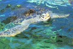 Tortuga de mar verde Imágenes de archivo libres de regalías