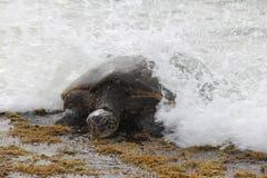 Tortuga de mar verde Imagenes de archivo