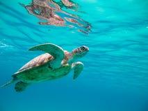 Tortuga de mar verde Fotografía de archivo libre de regalías