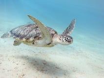 Tortuga de mar verde Fotos de archivo libres de regalías