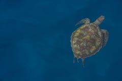 Tortuga de mar verde debajo del mar en la zambullida de la isla de Similan en Thailan Imágenes de archivo libres de regalías