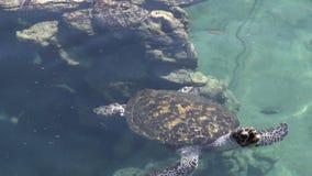 Tortuga de mar verde en el observatorio subacuático Marine Park en Eilat, Israel metrajes