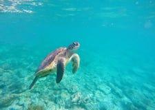 Tortuga de mar verde en naturaleza salvaje del mar tropical Foto de archivo libre de regalías