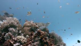 Tortuga de mar verde en sweetlips de un arrecife de coral almacen de metraje de vídeo