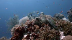 Tortuga de mar verde en sweetlips de un arrecife de coral metrajes