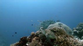 Tortuga de mar verde en un arrecife de coral con Anthias y Sweetlips imagenes de archivo