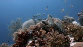 Tortuga de mar verde en un arrecife de coral con Anthias y Sweetlips imágenes de archivo libres de regalías