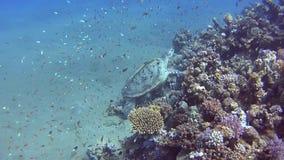 Tortuga de mar verde grande que nada sobre el arrecife de coral en laguna baja del mar tropical almacen de metraje de vídeo