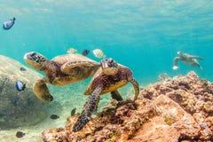 Tortuga de mar verde hawaiana Imagenes de archivo