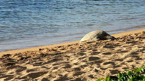 Tortuga de mar verde hawaiana en la playa en Hawaii Fotos de archivo