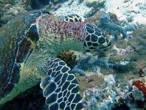 Tortuga de mar verde que introduce, Maldives imagenes de archivo