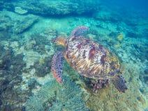 Tortuga de mar verde que se zambulle cerca de parte inferior de mar Fotos de archivo libres de regalías
