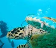 Tortuga de mar y zambullidor de equipo de submarinismo Fotos de archivo libres de regalías