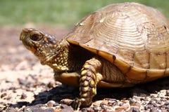 Tortuga de rectángulo Foto de archivo libre de regalías