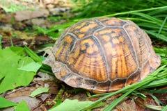 Tortuga de rectángulo (Terrapene Carolina) Imagen de archivo libre de regalías