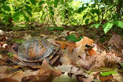 Tortuga de rectángulo (Terrapene Carolina) Imagenes de archivo
