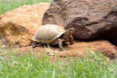 tortuga de rectángulo Tres-tocada con la punta del pie, los E.E.U.U. Fotos de archivo