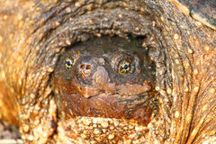 Tortuga de rotura (serpentina del Chelydra) Fotografía de archivo