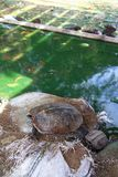 Tortuga del agua dulce Imágenes de archivo libres de regalías