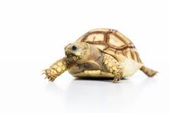 Tortuga del animal doméstico de la tortuga Imágenes de archivo libres de regalías