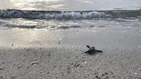 Tortuga del bebé en la playa