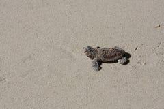 Tortuga del bebé que vuelve al mar Foto de archivo