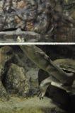 Tortuga del cuello de la serpiente Imágenes de archivo libres de regalías