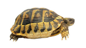 Tortuga del hermanni del testudo de la tortuga Imagenes de archivo