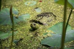 Tortuga del pantano Imagen de archivo libre de regalías