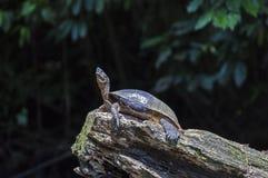 Tortuga del río que toma el sol en Tortuguero - Costa Rica imagen de archivo libre de regalías