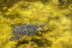 Tortuga en el agua Imagen de archivo