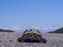 Tortuga en el camino Fotografía de archivo libre de regalías