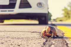 Tortuga en el camino Foto de archivo