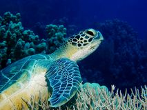 Tortuga en el filón coralino Imágenes de archivo libres de regalías