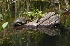 Tortuga en el lago Fotografía de archivo