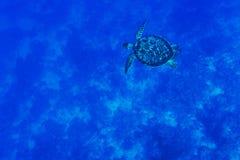 Tortuga en el mar azul Imagen de archivo