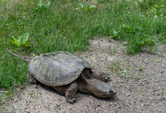 Tortuga en el parque de Michigan Imagen de archivo