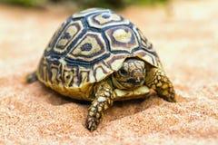 Tortuga en la arena (hermanni del Testudo) Foto de archivo
