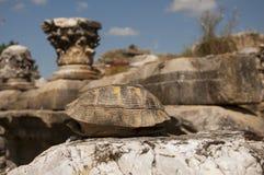 Tortuga en la piedra en el anuncio Maeandrum, Turquía de la magnesia de la ciudad antigua Imagen de archivo libre de regalías