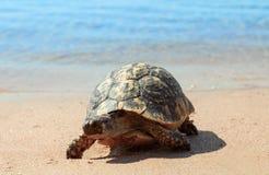 Tortuga en la playa arenosa Foto de archivo libre de regalías