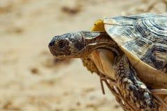 Tortuga en la playa arenosa Fotografía de archivo