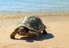 Tortuga en la playa arenosa Fotos de archivo libres de regalías