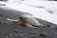 Tortuga en la playa negra de la arena Fotografía de archivo