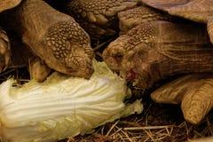 Tortuga estimulada africana Imagen de archivo