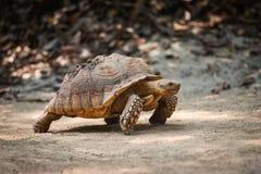 Tortuga estimulada africana/cierre encima de caminar de la tortuga imagen de archivo libre de regalías