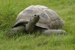 Tortuga gigante Imagen de archivo libre de regalías