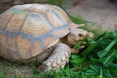 Tortuga gigante Fotografía de archivo libre de regalías
